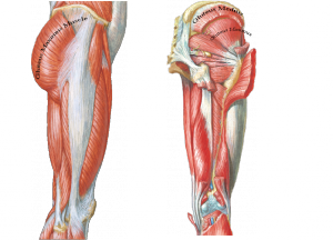 Glute Maximus, Glute Medius, Glute Minimus all essential to pelvic stability for lower body movement.